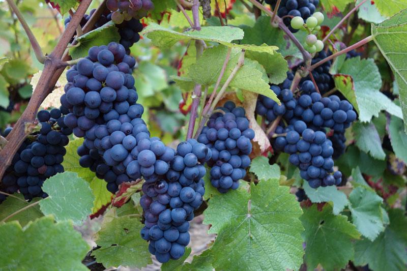 Pinot Noir de Bouzy